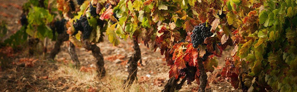 Monica: l'uva di Sardegna