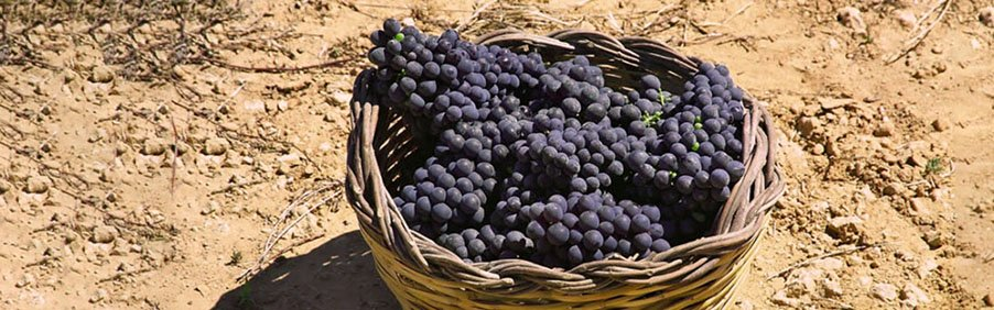 Negroamaro: il vino rosso del Salento