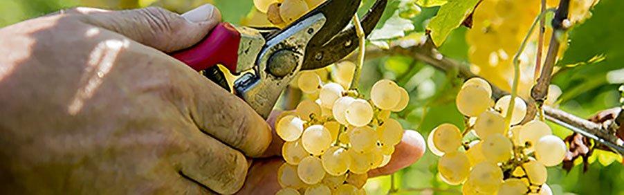 Ribolla Gialla: il vitigno di confine