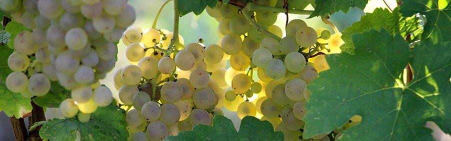 Trebbiano: un solo protagonista, dall'Abruzzo al Vin Santo toscano